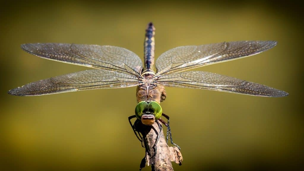 dragonfly, wings, insect