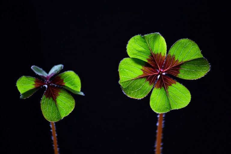 Lucky Clover by Inge